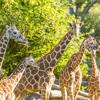 /assets/2059/african_savanna_-_giraffes.jpg