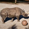 rhino with toy