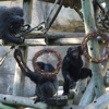 baby chimps playing with wreaths