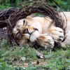 lion cub playing with toy