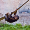 baby chimp climbing rope