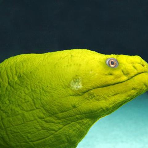 A green moray eel in the Cape Fear Shoals Habitat.