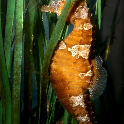 A seahorse raised behind the scenes at the Aquarium in the syngnathid habitat.