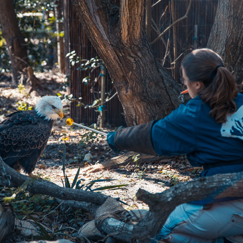Maverick, the rescued bald eagle, works on a training session with a member of our animal care team.