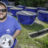 Gopher frog rearing