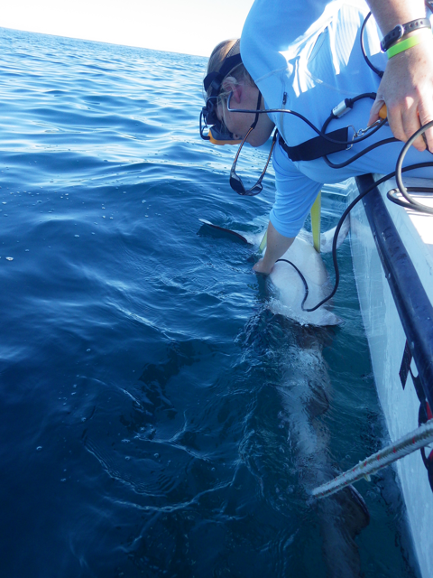 During the tagging process, a the Aquarium team  gets ultrasound images from the mature females