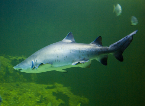 Sand Tiger Shark by Scott Taylor