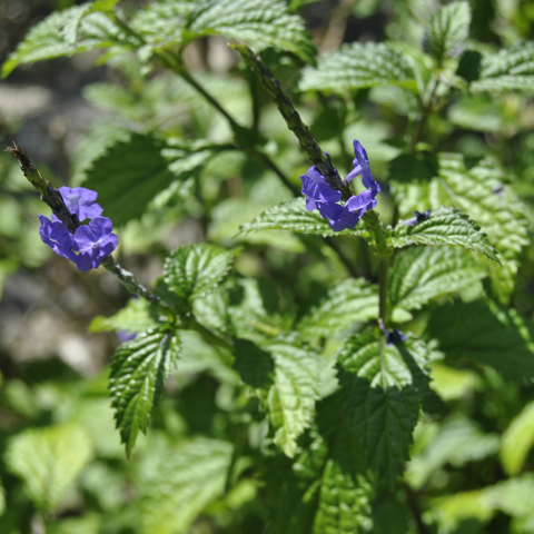 Blue porterweed (Stachytarpheta jamaicensis)