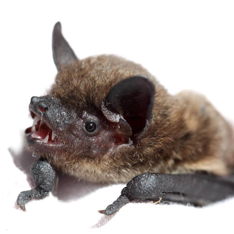 Evening bat (Nycticeius humeralis)