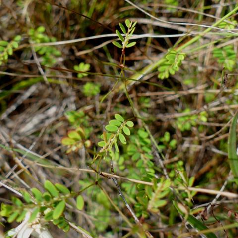Florida five-petalled leafflower (Phyllanthus pentaphyllus var. floridanus)