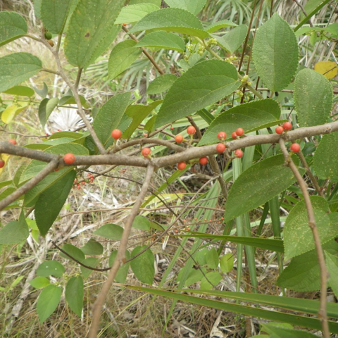 Florida trema (Trema micranthum)