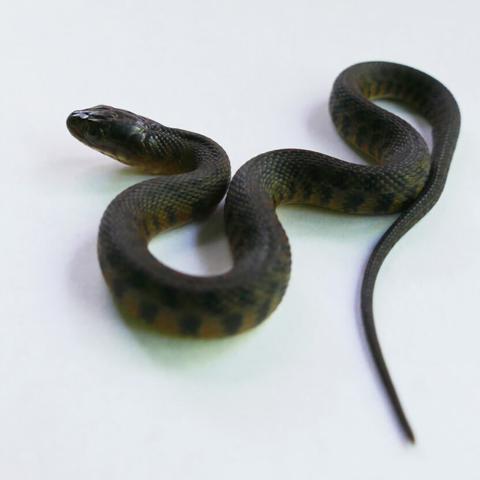 Florida green water snake juvenile (Nerodia floridana)
