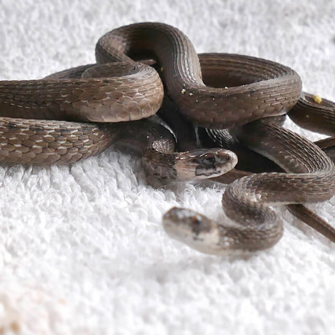 Florida brown snakes (Storeria victa)
