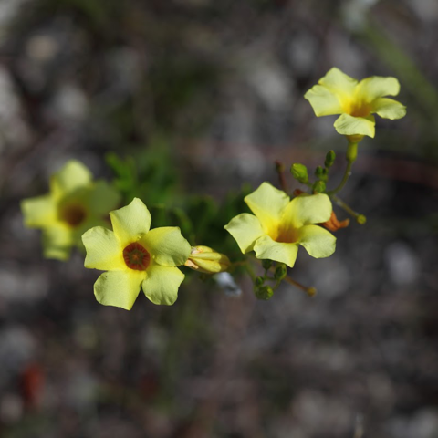 Pineland-allamanda (Angadenia berteroi)