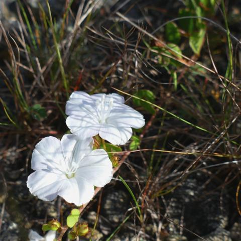 Pineland clustervine (Jacquemontia curtisii)
