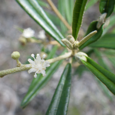 Pineland croton (Croton linearis)