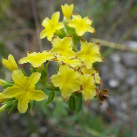 Pineland heliotrope (Heliotropium polyphyllum)