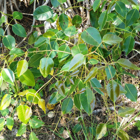 Poisonwood (Metopium toxiferum)