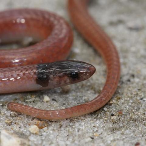 Rim rock crowned snake (Tantilla oolitica)