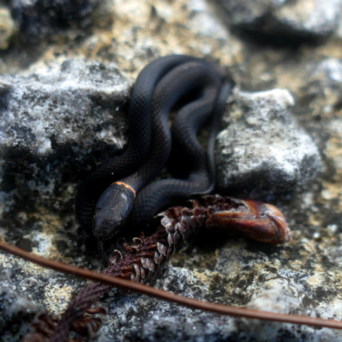 Southern ringneck snake (Diadophis punctatus punctatus)