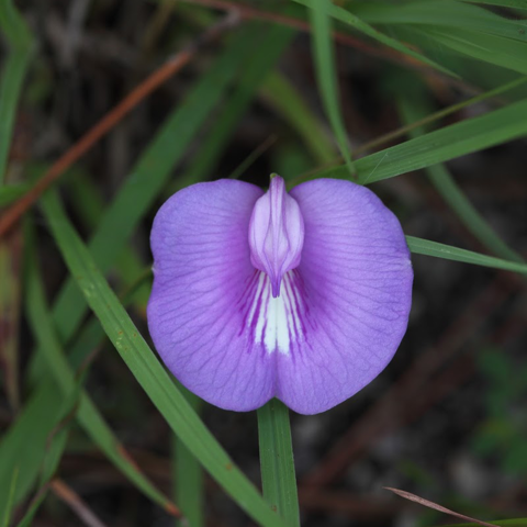 Spurred butterfly pea (Centrosema virginianum)