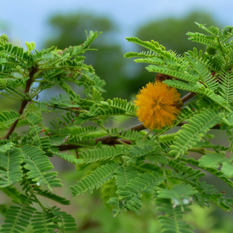 Sweet acacia (Vachellia farnesiana)