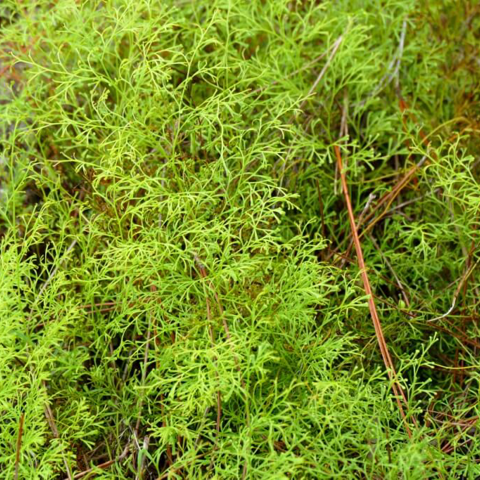 Wedgelet fern (Sphenomeris clavata)