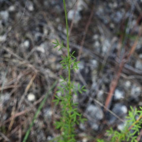 Whitetassels (Dalea carnea)