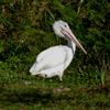 American white pelican immature (Pelecanus erythrorhynchos)