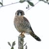 American kestral male (Falco sparverius)