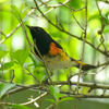 American redstart male (Setophaga ruticilla)