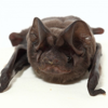 Florida bonneted bat (Eumops floridanus)