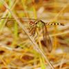 Band-winged dragonlet female(Erythrodiplax umbrata)