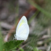 Barred yellow (Eurema daira)