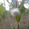 Black-waved flannel moth caterpillar (Lagoa crispata)
