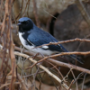 Black-throated blue warbler male (Setophaga caerulescens)