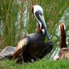 Brown pelican breeding plumage (Pelecanus occidentalis)