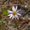 Clasping aster (Aster adnatus)