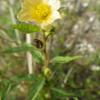 Common fanpetals (Sida acuta)