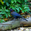 Common grackle male (Quiscalus quiscula)