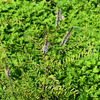 Crenulate lead-plant (Amorpha crenulata)