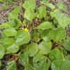 Dollarweed (Rhynchosia reniformis)