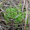 Eaton's spike-moss (Selaginella eatonii)