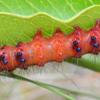 Faithful beauty larvae (Composia fidelissima)