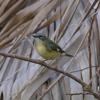 Black-throated blue warbler female (Setophaga caerulescens)