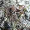 Field Wolf Spider (Hogna sp.)