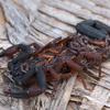 Florida bark scorpion with young (Centruroides gracilis)