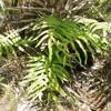 Golden polypody (Phlebodium aureum)