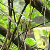 Hermit thrush (Catharus guttatus)