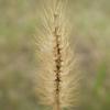 Knotroot foxtail (Setaria parviflora)